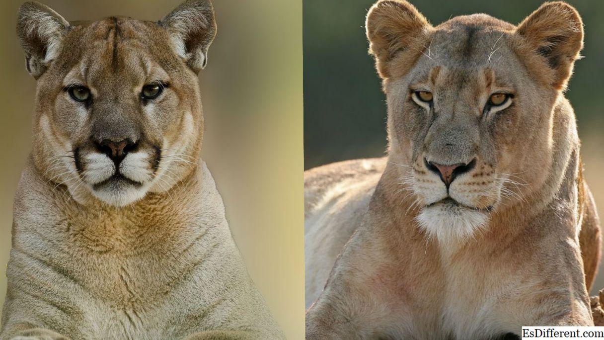Cougar at Mountain lion