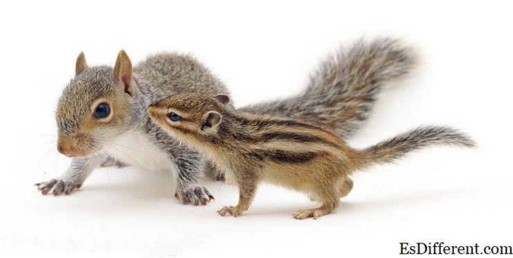 松鼠和花栗鼠之间的区别