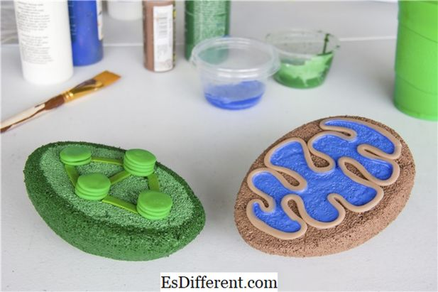 how to make a model of mitochondria with thermocol