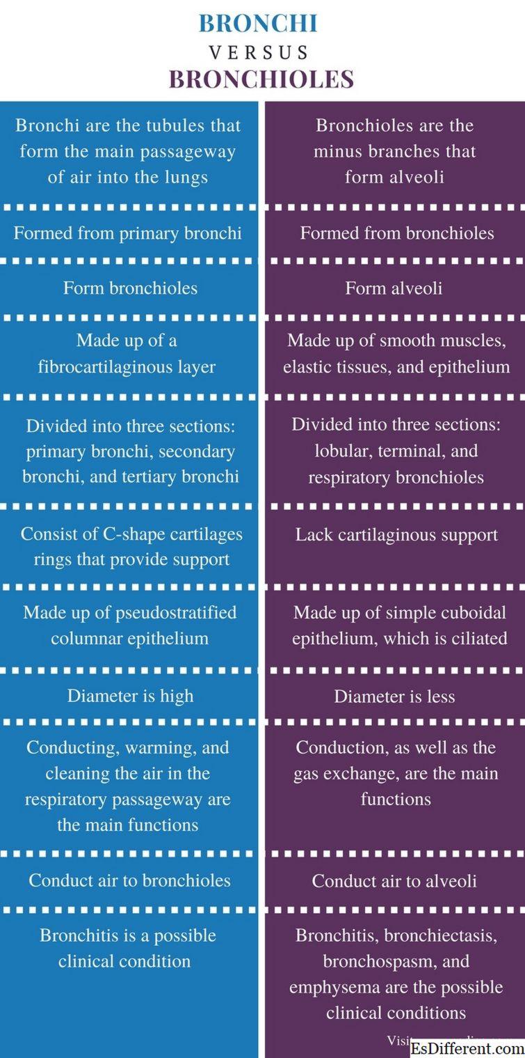 Diferencias entre los alvéolos y los bronquios