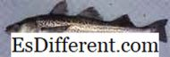 Differenza Tra Walleye e Pickerel